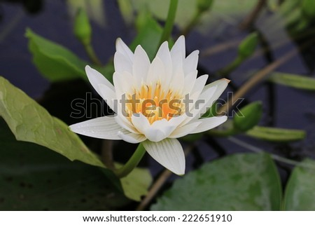 Water Lily flower with raindrop,closeup of white Water Lily flower in full bloom with raindrop - stock photo