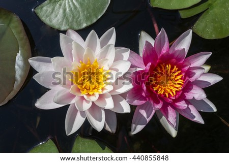 water-lily flowers - stock photo