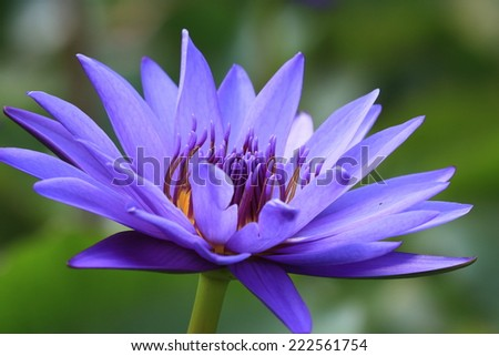 Water Lily flowers,closeup of purple Water Lily flowers in full bloom - stock photo