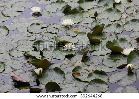 Water lily flowers on pond 7719 - stock photo