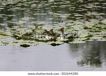 Water lily flowers on pond 7713 - stock photo