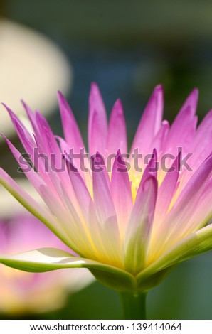 Water Lily in closed-up view. - stock photo