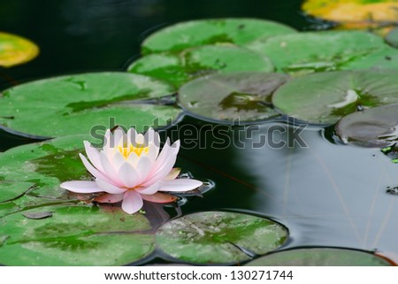 Water lily in lake - stock photo