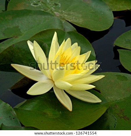 Water lily in Lotus Museum, Thailand. - stock photo