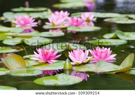 Water lily in the pond - stock photo