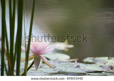 Water lily, Inle lake, Myanmar (Burma) - stock photo