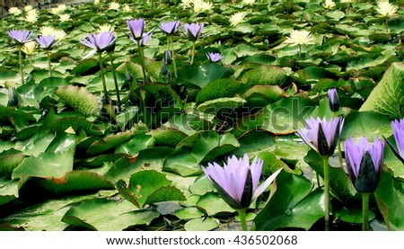 Water lily is a perennial plant that often form dense colonies. It has around  58 species in 6 genera of freshwater plants. - stock photo