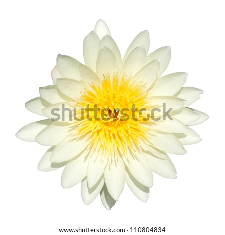 Water lily isolate in the white background - stock photo