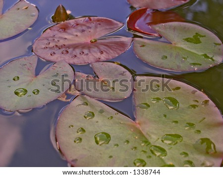 water lily - leaves
