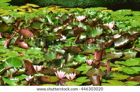 Water lily leaves and flowers on the lakes surface. - stock photo