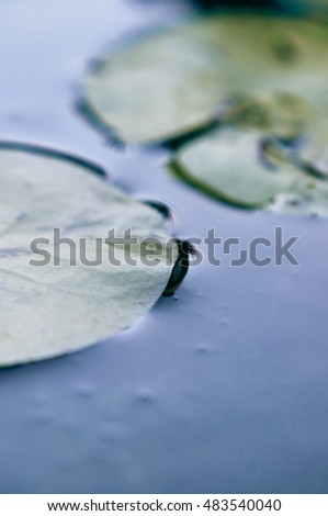 Water lily leaves on calm water surface