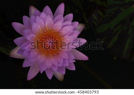 water lily;lotus a beautiful aquatic plant