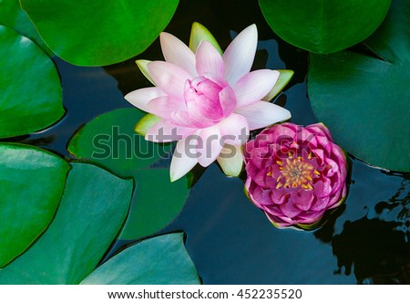 Water lily lotus flower and leaves in pond - stock photo