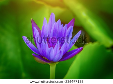 water lily lotus flower, blue - stock photo