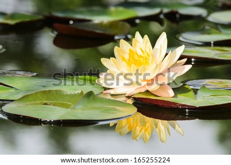 water lily, lotus flower in nature - stock photo