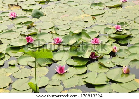 Water lily lotus flower, leaf