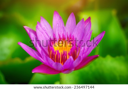 water lily lotus flower on garden, pink - stock photo