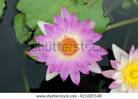 Water lily , Lotus on top view