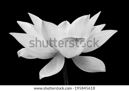 Water Lily Lotus, soft focus - stock photo