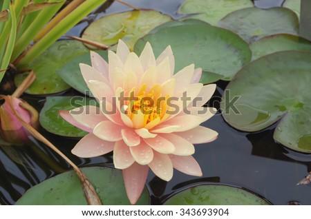 Water Lily (Mangkala Ubol Water Lily) Blooming orange waterlilies in the pond - stock photo