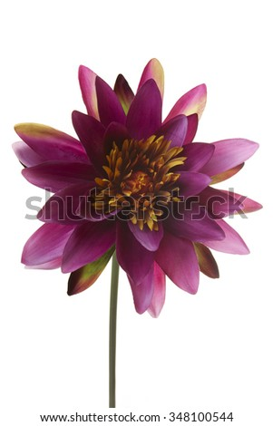 Water Lily maroon artificial flower isolated on white background - stock photo