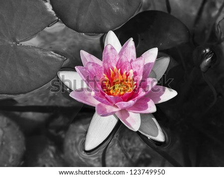 water lily monochrome picture