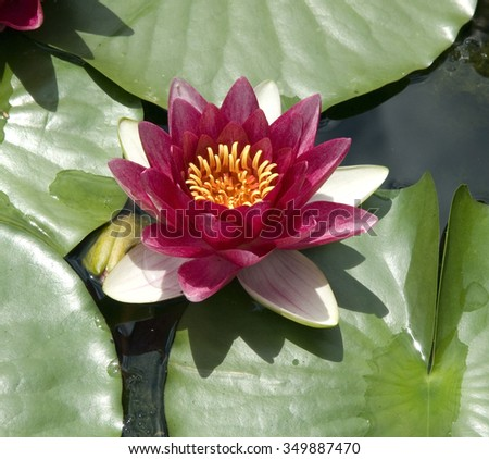 water lily; Nymphaea;