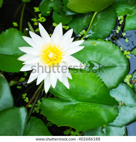 Water Lily, Nymphaea alba. - stock photo