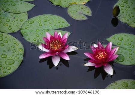 Water lily of Heian Jingu Shrine in Kyoto. - stock photo
