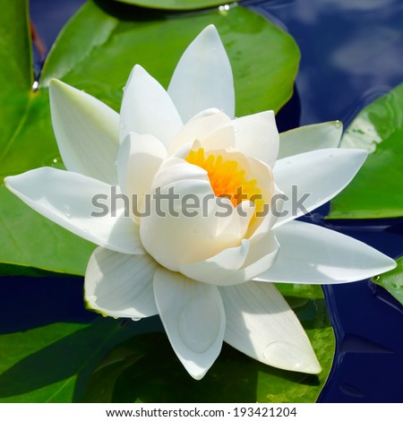 Water lily on a lake among a green leaves - stock photo