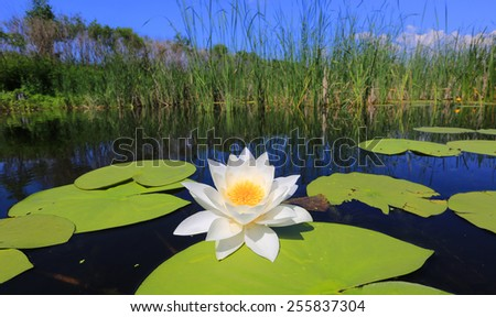water lily on lake in nice day - stock photo