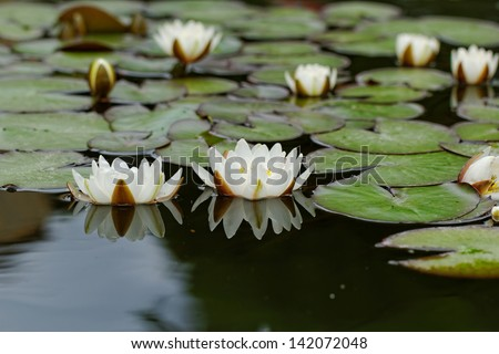 water lily on the small Lake - stock photo