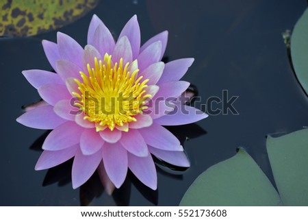 Water lily or lotus, aquatic plant of the genus Nymphaea, much appreciated in gardening - Sao Paulo, Brazil