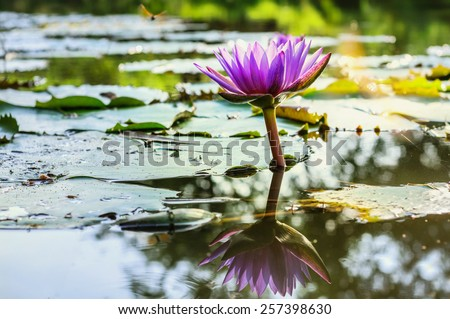 Water Lily Pond and lotus - stock photo