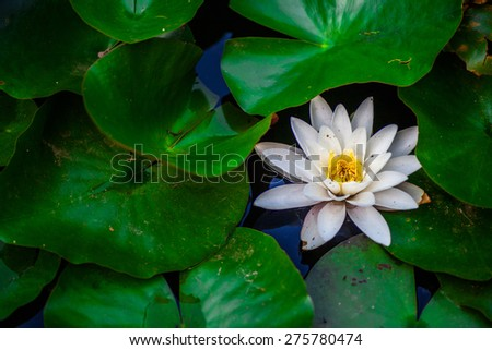 Water lily pond in the middle of big green leaves - stock photo