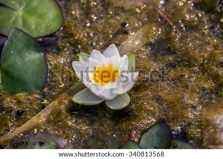Water lily white flower with central water droplet in summer swamp - stock photo
