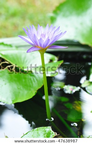 Water lily with shallow depth of field