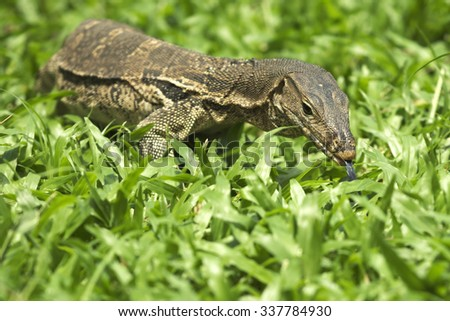 Water lizard crawling on green grass looking directly at camera
