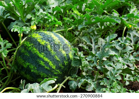water mellon after rain - stock photo