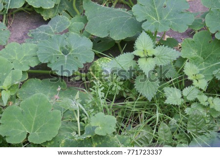 Water melon in the plant