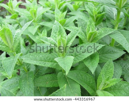 Water mint, Mentha aquatica