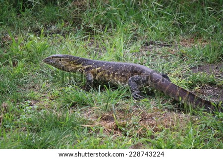 Water Monitor Lizard on bank of Okavango Delta, Botswana - stock photo