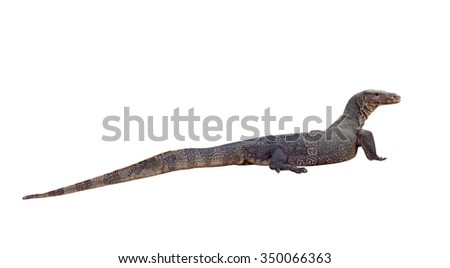 Water monitor lizard on white background. Focus on eye.