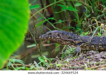 water monitor lizard (varanus salvator) in forest - stock photo