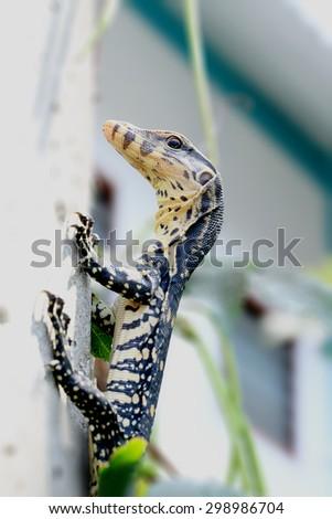 Water monitor or Varanus salvator Climbing a power pole - stock photo