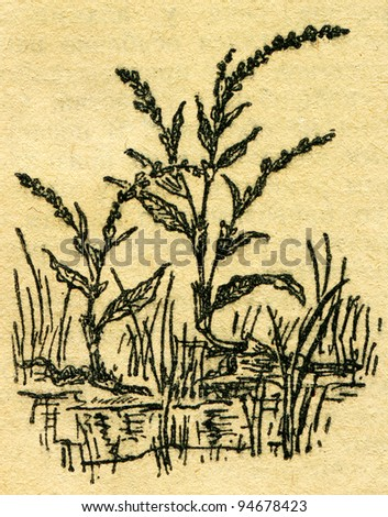 """Water pepper - Persicaria hydropiper - an illustration from the book """"In the wake of Robinson Crusoe"""", Moscow, USSR, 1946 - stock photo"""