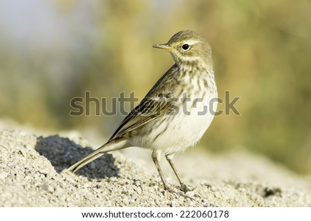 Water pipit  in natural habitat - close up / Anthus spinoletta - stock photo