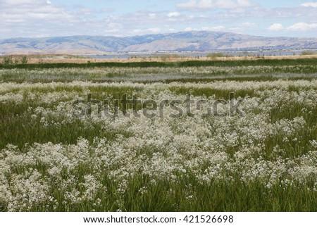 Water plants in bloom in California marsh - stock photo