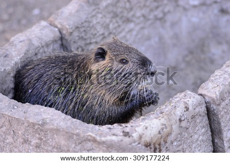 Water rat - stock photo