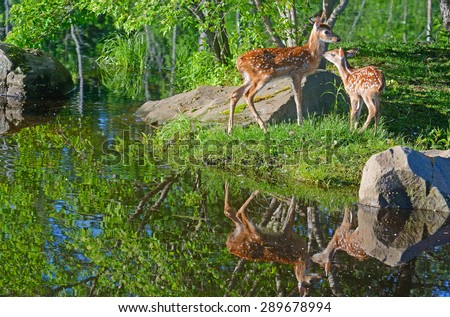 Water reflections of two young White-tailed Fawns. - stock photo